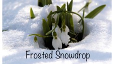 Frosted Snowdrop