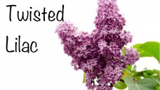 Twisted Lilac
