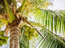 caribbean coconut